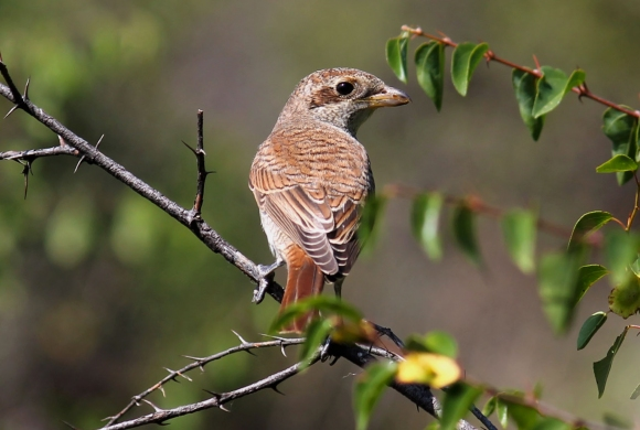 Red-backed Shrike/Lanius collurio - Photographer: Станислав Цолов