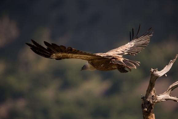 Eurasian Griffon/Gyps fulvus - Photographer: Николай Стоянов