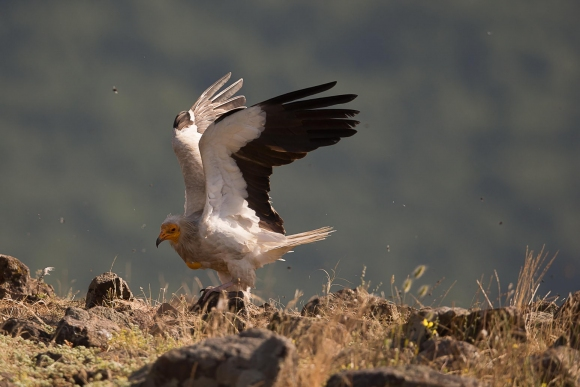 Egyptian Vulture/Neophron percnopterus - Photographer: Николай Стоянов