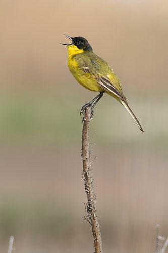 Yellow Wagtail/Motacilla flava - Photographer: Sergey Panayotov