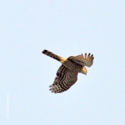 Eurasian Sparrowhawk/Accipiter nisus - Photographer: Весела Банова