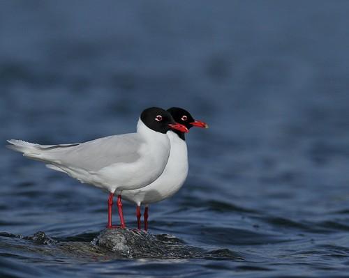 Mediterranean Gull/Larus melanocephalus - Photographer: Иво Дамянов