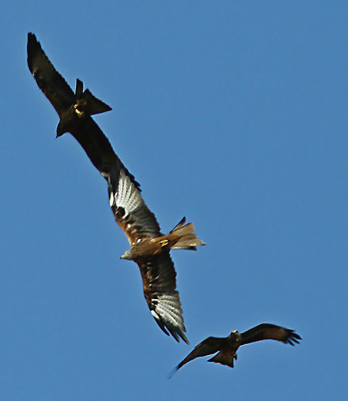 Red Kite/Milvus milvus - Photographer: Чавдар Гечев