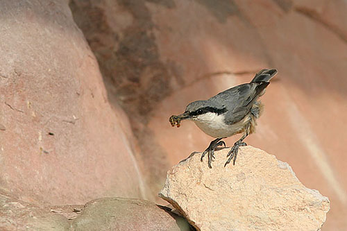 Western Rock-nuthatch/Sitta neumayer - Photographer: Емил Енчев