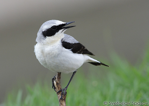 Northern Wheatear/Oenanthe oenanthe - Photographer: Светослав Спасов