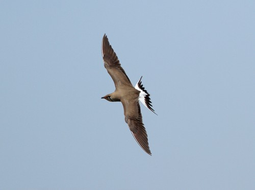 Collared Pratincole/Glareola pratincola - Photographer: Иво Дамянов