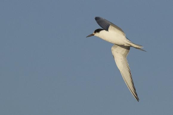 Gull-billed Tern/Gelochelidon nilotica - Photographer: Бисер Тодоров