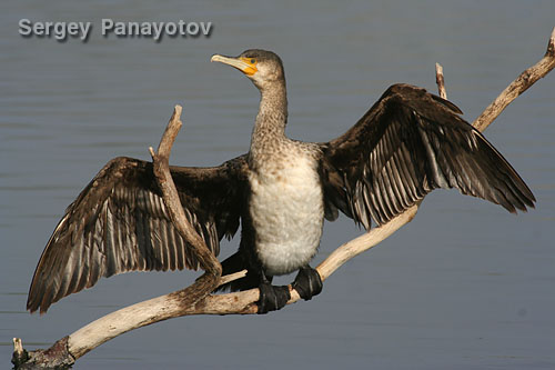 Голям корморан/Phalacrocorax carbo - Фотограф: Sergey Panayotov