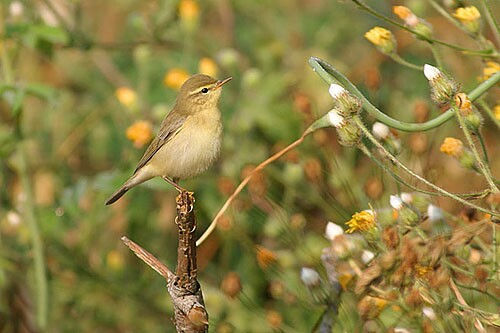Common Chiffchaff/Phylloscopus collybita - Photographer: Емил Енчев