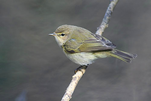 Common Chiffchaff/Phylloscopus collybita - Photographer: Sergey Panayotov