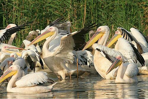 Great White Pelican/Pelecanus onocrotalus - Photographer: Емил Енчев