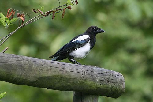 Black-billed Magpie/Pica pica - Photographer: Sergey Panayotov