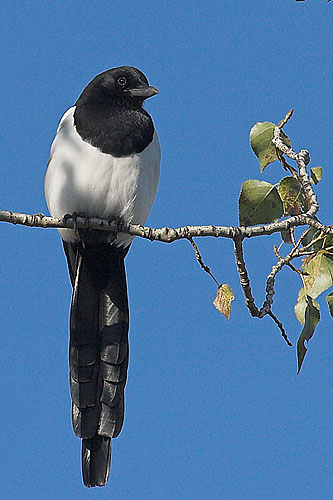 Black-billed Magpie/Pica pica - Photographer: Николай Стайков