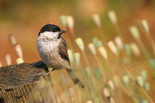 Marsh Tit/Poecile palustris - Photographer: Емил Енчев