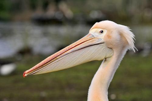 Great White Pelican/Pelecanus onocrotalus - Photographer: Димитър Неделчев
