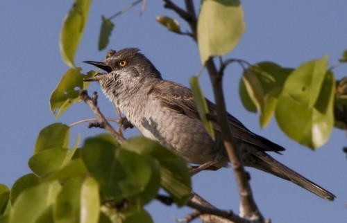 Barred Warbler/Sylvia nisoria - Photographer: Богдан Боев