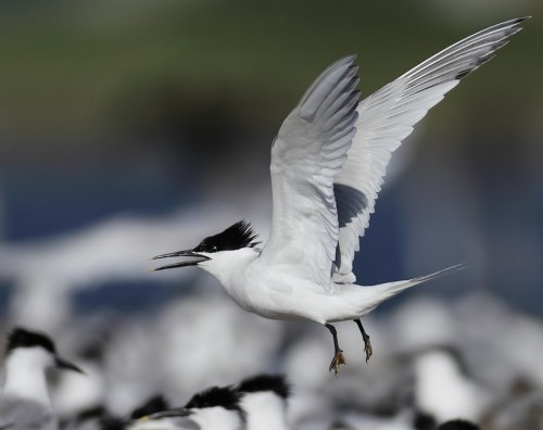 Sandwich Tern/Sterna sandvicensis - Photographer: Иво Дамянов