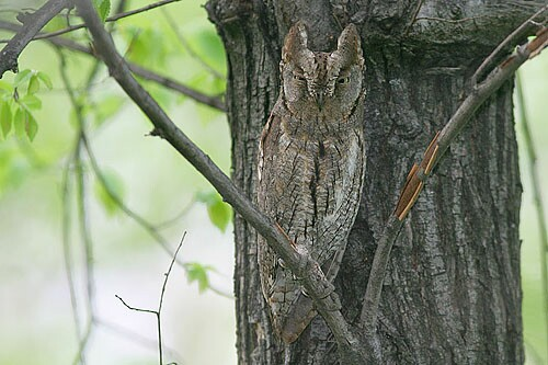 Common Scops-owl/Otus scops - Photographer: Емил Енчев