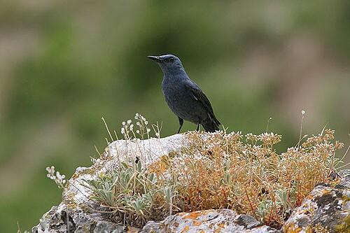 Blue Rock-thrush/Monticola solitarius - Photographer: Емил Енчев