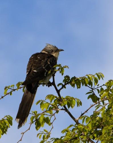 Great Spotted Cuckoo/Clamator glandarius - Photographer: Иво Дамянов