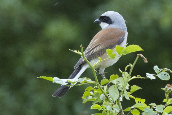 Red-backed Shrike/Lanius collurio - Photographer: Бисер Тодоров