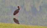 Black Stork/Ciconia nigra - Photographer: Николай Шопов
