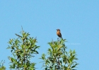 Family Thrushes, Common Stonechat/Saxicola rubicola