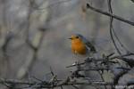 European Robin/Erithacus rubecula - Photographer: Николай Шопов