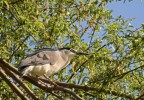 Family Herons, Bitterns, Black-crowned Night-heron/Nycticorax nycticorax