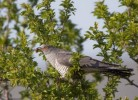 Common Cuckoo/Cuculus canorus - Photographer: Богдан Боев