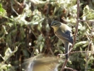 Willow Warbler/Phylloscopus trochilus, Family Warblers