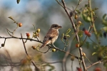 Red-backed Shrike/Lanius collurio - Photographer: Фани Михайлова
