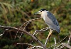 Black-crowned Night-heron/Nycticorax nycticorax - Photographer: Виктор Янев