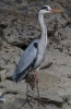 Grey Heron/Ardea cinerea, Family Herons, Bitterns