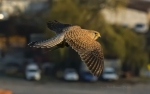 Common Kestrel/Falco tinnunculus, Family Falcons