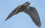Family Falcons, Common Kestrel/Falco tinnunculus - Photographer: Rick Ground