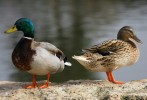 Family Waterfowl, Mallard/Anas platyrhynchos