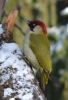 Family Woodpeckers, Eurasian Green Woodpecker/Picus viridis