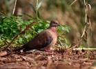 Family Pigeons, Doves, Laughing Dove/Streptopelia senegalensis