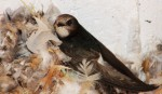 Little Swift/Apus affinis, Family Swifts