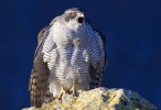 Northern Goshawk/Accipiter gentilis - Photographer: Градимир