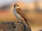 Red-backed Shrike/Lanius collurio - Photographer: Атанас Атанасов
