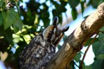 Family Owls, Long-eared Owl/Asio otus