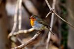 European Robin/Erithacus rubecula - Photographer: Милен Генов