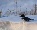 Belted Kingfisher/Ceryle alcyon - Photographer: Иван Петров