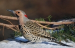Northern Flicker/Colaptes auratus, Family Woodpeckers