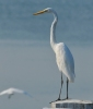 Great Egret/Ardea alba, Family Herons, Bitterns