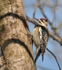 Yellow-bellied Sapsucker/Sphyrapicus varius, Family Woodpeckers
