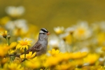 White-crowned Sparrow/Zonotrichia leucophrys, Family Buntings