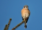 American Kestrel/Falco sparverius, Family Falcons